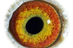Oog-Yellow-Eye